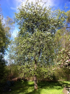 PEar tree 'Gris Bonne'