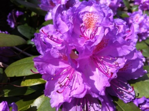 Pic of blossoming Rhododendron catawbiense