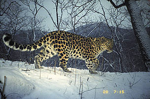 The Amur leopard - an ecotype
